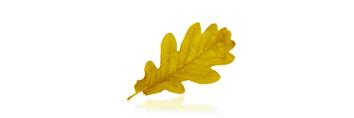 Hoja de roble amarilla fondo blanco