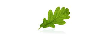 Hoja de roble verde fondo blanco